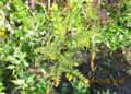 賢治ガーデンの「サンショウ(山椒)」の木。(26.11.6)