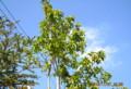 青空に映える、「ソヨゴ」の緑の葉と赤い実。(26.11.7))