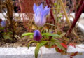 ひっそりと咲く、「リンドウ(竜胆)」の花。(26.11.8)