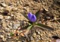 時期外れの花、「オヤマノリンドウ」。(26.11.11)