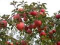たわわに実る「りんご園」。(26.11.17)