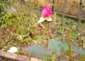 子ども未来館にある「宇宙バラ」の蕾。(26.11.26)