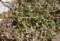 ヒメイワダレソウ植栽地の、雑草・クローバー抜き。(26.11.30)