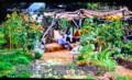 テレビ、「食育菜園」。(26.11.30)