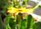 開き始めた「金盞花・カレンデュラ」の花。(26.12.3)(9:10)