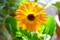 日光を透かした「金盞花・カレンデュラ」(26.12.3)(9:10)