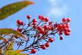 青空に映える、「ナンテン(南天)」の赤い実。(26.12.9)