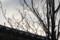 うす日の中、ふくらんだクロモジの冬芽。(26.12.15)