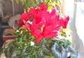 「シクラメン」は、冬至の日光浴。(26.12.22)