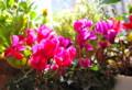 出窓の「ガーデンシクラメン」にも、冬至の日差しが…。(26.12.22)
