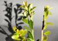 イヌツゲ、互生の葉。(26.12.22)