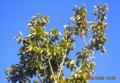 青空に映える、「ソヨゴ」の緑の葉と赤い実。(26.12.28))