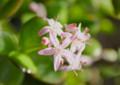 「クラッスラ・花月」は、星形の花。(26.12.31)