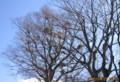 ケヤキの枝に、「ヤドリギ(寄生木)」が。(27.1.5)