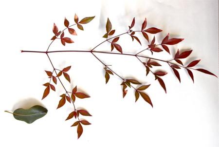 「ナンテン(南天)」の葉、三回羽状複葉。