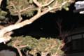イチイの枝の間に、「霜月二十八日」の月。(27.1.18)(5:30)