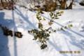 雪中、冬越し中のヒイラギ(柊)(ひろば)