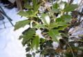雪中で冬越し中の「ヒイラギ(柊)」(27.1.20)