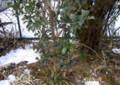 雪中、寒さに耐えている「ヒイラギ(柊)」。(27.2.3)