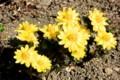 満開の「フクジュソウ(福寿草)」の花。(27.3.17)