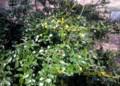 イヌツゲ、緑色の実。(