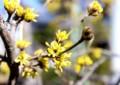 「サンシュユ(山茱萸)」の開花。(27.3.25)
