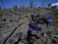 「プルモナリア」、青紫色の花。(