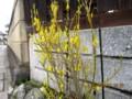 咲き始めた「シナレンギョウ」?(27.4.11)