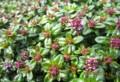 花を着け始めた「伊吹麝香草」。(27.4.12)