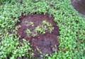 雨降り、移植した「桜草」も元気。(27.4.13)