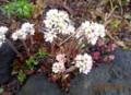 雨に濡れる「イワヤツデ・丹頂草」の花。(27.4.14)