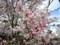 佐久平駅前の「十月桜」。(27.4.17)