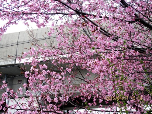 JR小海線高架下の「大山桜」の花。927.4.17)