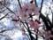 「大山桜」の花。(27.4.17)