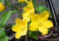 風に揺れる、「ヤマブキ(山吹)」の花。(27.4.22)
