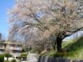 R141号バイパス土手下の「大木」。(27.4.23)