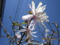 お気に入りの「シデコブシ(幣辛夷)」の花。(27.4.23)