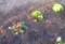 萎れかけたプリムラを中心に、水やり。(27.4.25)