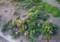 「赤花イチゴ」の花。(27.4.25)