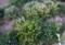 在来種タンポポに同居している西洋タンポポ。(27.4.25)