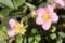 グランドカバー用イチゴの花。(27.4.26)