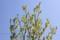 「クロモジ(黒文字)」の花も咲いて。(27.4.26)