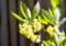 「クロモジ(黒文字)」の花。(27.4.26)