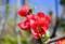 真っ赤な「ボケ(木瓜)」の花。(27.4.26)