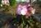 「ひろば・賢治ガーデン」の「石楠花」の花。(27.4.26)