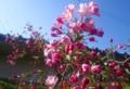 青空に映える「花海棠」の花。(27.4.27)