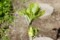 「コシアブラ(漉油)」の若葉。(27.4.27)