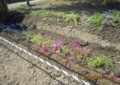 裏道わきに、「芝桜」と「ムスカリ」の花が…。(