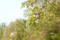 用水沿いの里山に、山桜が開花。
