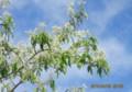 青空に映える「采振木」の花、葉。(27.4.30)